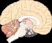 מח כתמונת המחשה למערכת העצבים