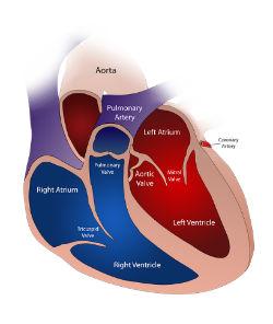חלקי הלב