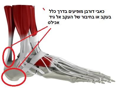 אנטומיה של הרגל